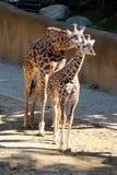 Frère et soeur de girafe photographie stock