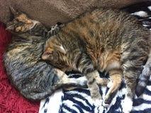 Frère et soeur Tabby Cats photo stock