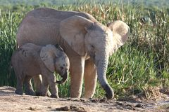Frères d'éléphant africain Image stock