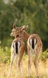 Frères de cerfs communs Image stock