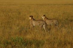 Frères de guépard Photographie stock libre de droits
