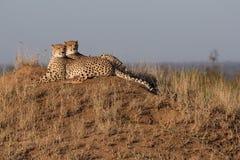 Frères de guépard ensemble sur une position avantageuse images stock