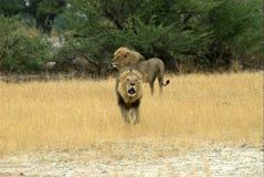 Frères de lion Images stock