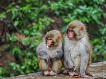 Frères de singe Image stock