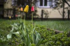 Frères de tulipe Images libres de droits