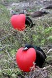 Frégates, Galapagos Images libres de droits