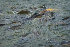 Frénésie de alimentation de poissons images stock