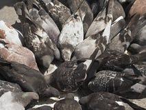 Frénésie de pigeon Image libre de droits