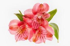 Frésias cor-de-rosa BB118608 Imagens de Stock Royalty Free
