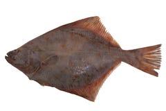 Frío de los pescados de la platija aislado Fotos de archivo