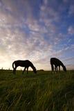 Frôlant des chevaux silhouettés contre le ciel de soirée Photos libres de droits