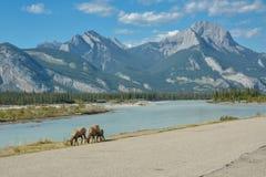 Frôlant la montagne les chèvres s'approchent de la route en Jasper National Park, Canada Image libre de droits