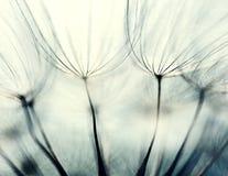 Frö av änghaverroten Royaltyfria Bilder