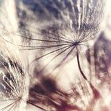 Frö av änghaverroten Royaltyfri Fotografi