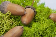 _ Frö av ekbrunt Ligga på en grön skogmossa Ett bra foto för folk med idérika idéer royaltyfri fotografi
