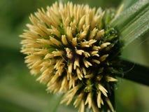 Frö på huvudet av en stjälk av gräs Arkivfoto