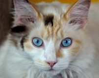 Fröcken Blue Eyes Arkivbild