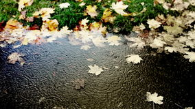 Fröhliches Regenbratenfett in eine Pfütze des kalten Herbstes stock video