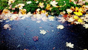 Fröhliches Regenbratenfett in eine Pfütze des kalten Herbstes stock footage