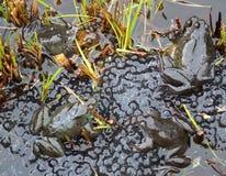 Frösche, die in einem Teich laichen Stockfotos