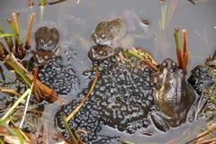 Frösche, die in einem Teich laichen Lizenzfreies Stockfoto