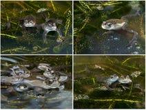Frösche mit Fischeiern in einem Teich Stockbilder