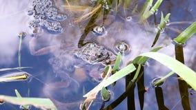 Frösche und Frogspawn stock video