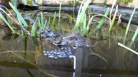 Frösche und Frogspawn stock footage