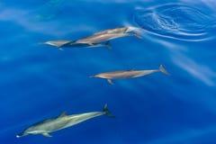 Fröskida av delfin som simmar i havet Arkivbilder