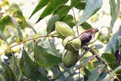 Fröskida av mogna pecannötmuttrar på filial av trädet Ett skal har öppnat, och vi kan se muttern själv arkivfoto