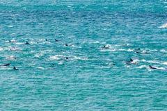 Fröskida av nyazeeländska gemensamma delfin i gummistövel Arkivfoto