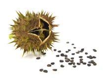 Fröskida och frö av det Jimson ogräset, Daturastramonium royaltyfria foton
