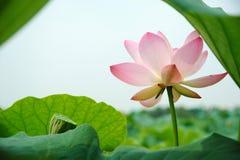 fröskidan för blommalotusblommapinken kärnar ur Arkivfoton