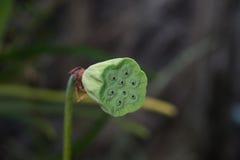Fröskidor av lotusblomma Arkivbilder