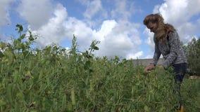 Fröskidor för ärtor för bondaktig kvinnaskörd mogna i lantgårdfält Fokusändring 4K stock video