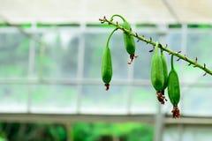 Fröskidorna av orkidérna packas med frö fotografering för bildbyråer