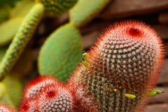 Fröt av kaktuns pollineras royaltyfri fotografi