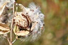 Fröt och de silkeslena håren av milkweeden arkivfoton
