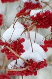 Früchte abgedeckt im Schnee Stockfoto