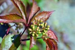 Früchte auf einer Virginia-Kriechpflanze Stockfotos
