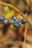 Früchte in botanischem Garten Leidens Stockfotos