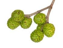 Früchte der grauen Erle Stockbild
