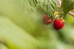 Früchte der Himbeere Stockfoto