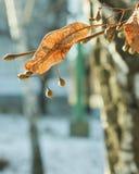 Früchte der Linde, sonnenbeschien im Garten im Winter Stockbild