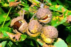 Früchte der Rosskastanie Lizenzfreies Stockfoto