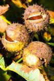 Früchte der Rosskastanie Stockfotografie