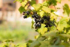 Früchte der Schwarzen Johannisbeere der Beeren auf einer Niederlassung, Nahaufnahme lizenzfreies stockfoto