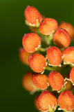 Früchte der wilden Blume Lizenzfreie Stockfotos