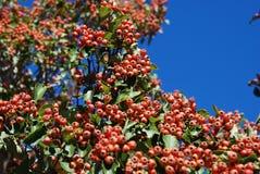 Früchte des Baums der Gebirgsroten Asche Stockfoto