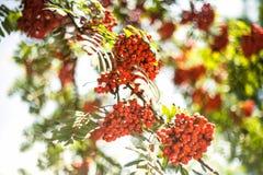 Früchte des Ebereschebaums Stockbilder